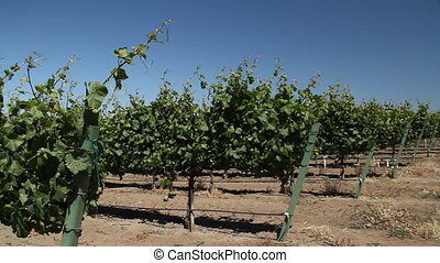 rows of wine grapes with blue sky