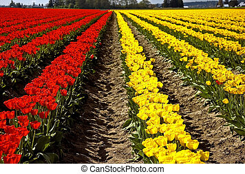 Rows of Yellow and Red Tulips
