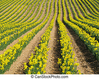 Rows of yellow spring daffodil flowers in an English field.