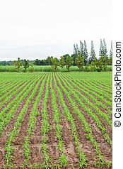 rows of young corn plants and sugarcane plant background