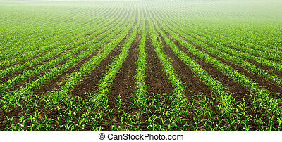 Rows of young corn plants on a moist field in a misty...