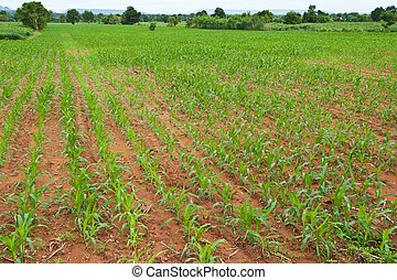 rows of young corn plants