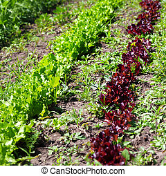 Rows of young green and red salad lettuce growing in field
