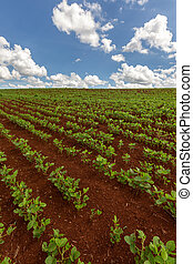 Rows of young soy plants in a field on a blurred background