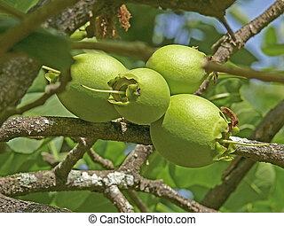 roxb, arborea, fruechte, careya