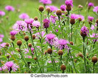 roxo, cornflower