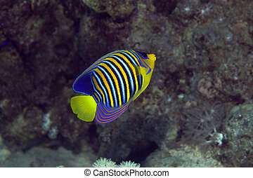 Royal angelfish in the Red sea.