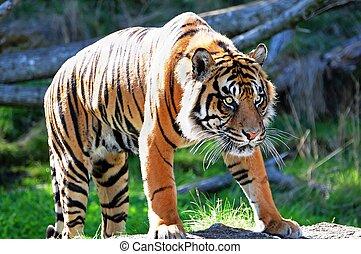 Royal Bengal Tiger - A tiger stalking its prey fully alert ...