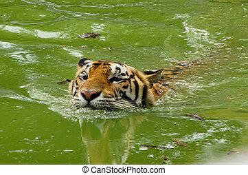 Royal Bengal tiger swimming