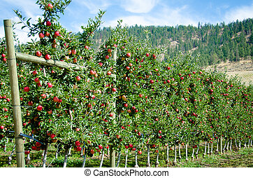 Royal gala apple trees ready for harvest in the Okanagan Valley in British Columbia.
