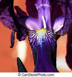 Royal Iris Abstract