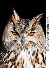 Royal owl - Bubo Bubo - Royal owl: complete classification...