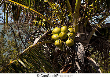 Royal palm tree with coconuts clustered among the palm...