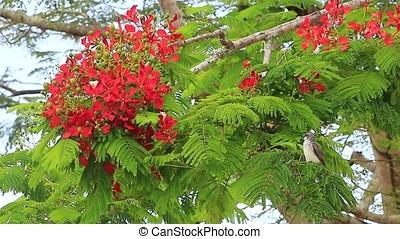 royal poinciana tree and Puerto Rican flycatcher bird