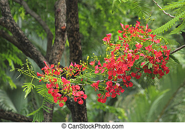 Royal Poinciana tree with red flower