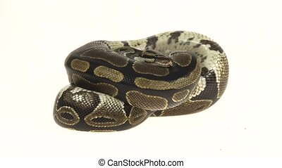 Royal Python or Python regius isolated in studio against a...