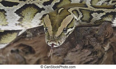 Royal Python or Python regius on wooden snag in studio against a white background. Close up. Slow motion.