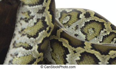 Royal Python or Python regius on wooden snag in studio against a white background. Close up.