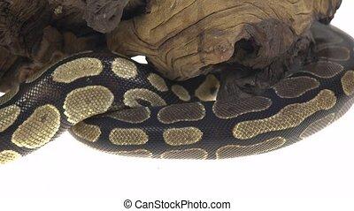 Royal Python or Python regius on wooden snag in studio...