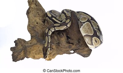 Royal Python or Python regius on wooden snag in studio...