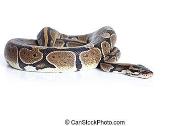 Royal Python snake in studio against a white background