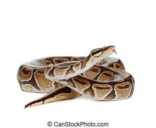 Royal Python snake - Royal python snake isolated on white...