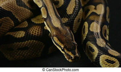 Royal python, snakeskin pattern - Footage of royal ball...