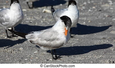 Royal Tern preening on the beach - Royal Tern, Thalasseus...