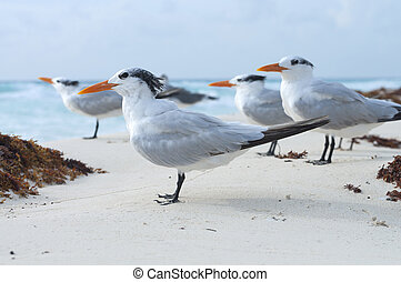 Royal tern - Small group of royal terns sea birds stand on...
