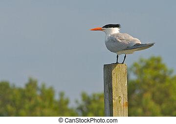 Royal Tern (Thalasseus maximus maximus) on a wooden perch.