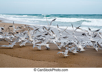 Royal Terns at Beach
