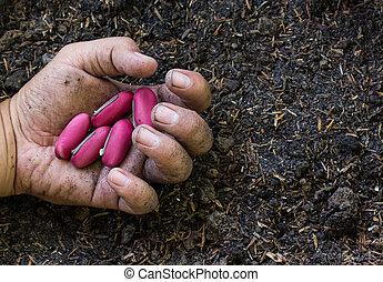 roze, aanplant, boon, zaden, terrein