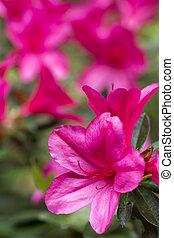 roze, azalea, samenstelling, verticaal