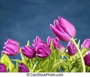 roze, blauwe , tulpen, studio, achtergrond, bloemen