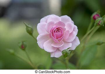 roze bloem, damast, roos, op einde