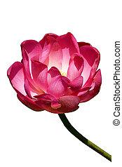 roze bloem, pool., lotus, buiten, blooming.