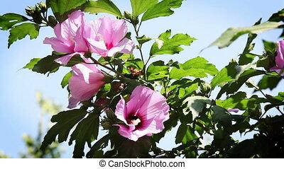 roze bloem, tegen, blauwe hemel