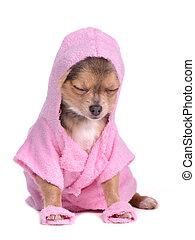 roze, chihuahua, geklede, ontspannen, na, badjas, bad,...