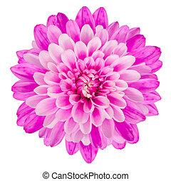 roze, chrysant, bloem, vrijstaand, op wit, achtergrond