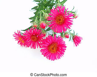 roze, chrysant