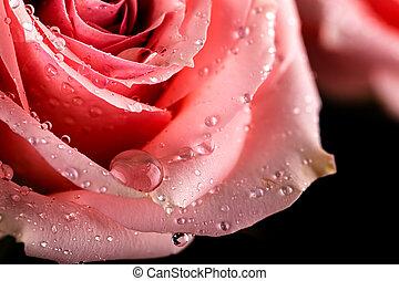 roze, closeup, waterdrops, roos