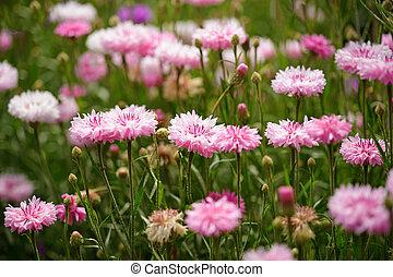 roze, cornflowers, tuin