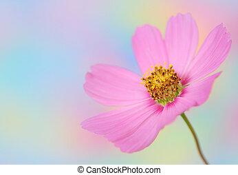 roze, cosmos bloem, op, kleurrijke, achtergrond