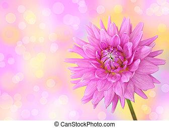 roze dahlia, bloem