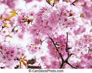 roze, de bloesem van de kers, in, volle, bloom.