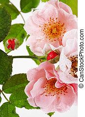 roze, dichtbegroeid boven, roos