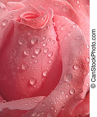 roze, droplets, roos