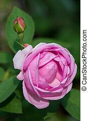 roze, extractie, oils., essentieel, rozen