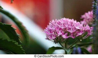 roze, flora, bloemen, aanzicht