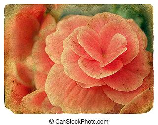 roze, flower., oud, postcard.